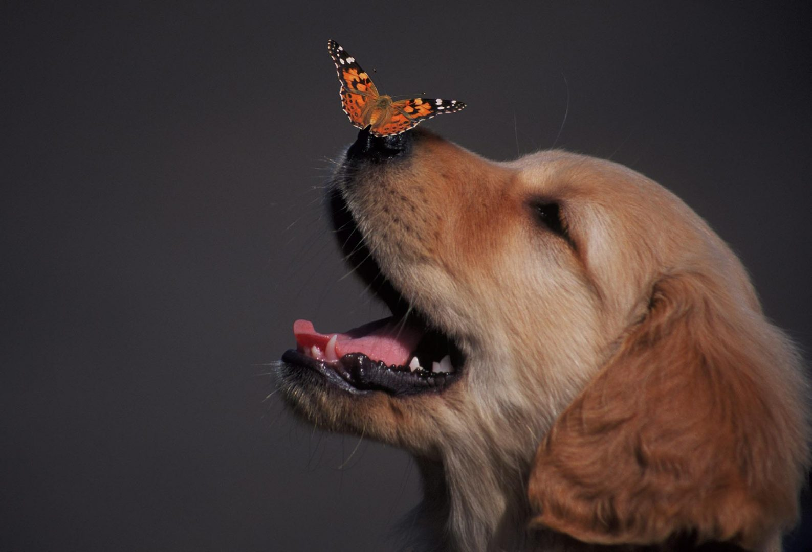 Dog with Butterfly original